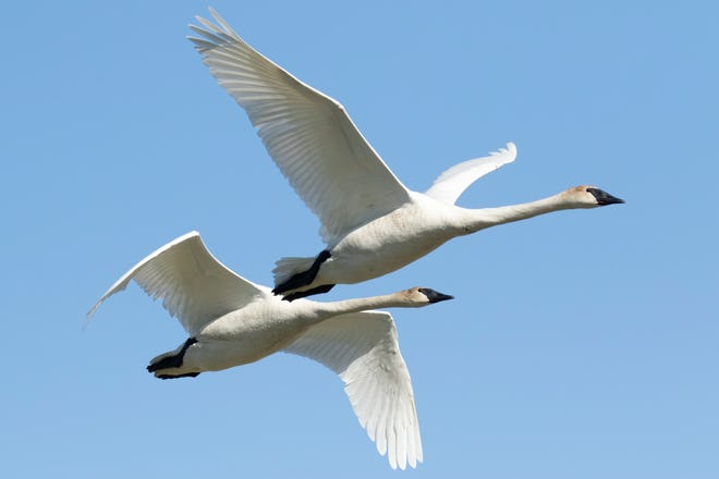 Birdwatcher Greg Bodker of Houghton Lake captured this image of trumpeter swans in flight over Houghton Lake. Bodker has been a birder since 2006 and has visited all 83 counties in Michigan in search for all kinds of birds.