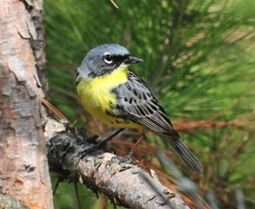 The Kirtland's warbler came off the list of endangered species in 2019. Credit: U.S. Fish & Wildlife Service