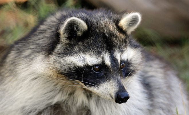 The raccoon, which has a distinctive black mask across its face, is most active at night, though it is also sometimes seen during daylight hours.