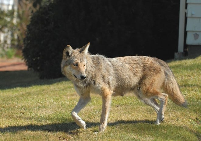 A coyote walks across a lawn in Newport. The Rhode Island Department of Environmental Management says Rhode Island residents are likely to start seeing more coyotes with the spring weather as coyotes look for food to feed their pups.