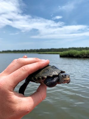 This marks the second year of the diamondback terrapin survey, and the first in which volunteers will be able to participate. Diamondback terrapins are an important salt marsh predator and are an iconic Inland Bays species, but little is known about their long-term population status and how that changes from year to year and place to place.