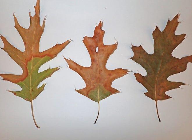 Red oak leaves with characteristic oak wilt symptoms. /