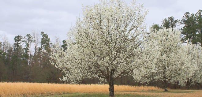 Callery Pear Tree