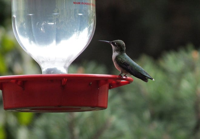 Ruby-throated hummingbirds will be arriving soon.