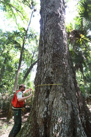 Florida Forest Service senior forester Conrad Wysocki measuring a recently spotted large Live Oak tree in Bulow Creek State Park.