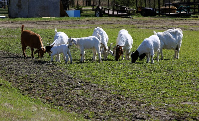 With voracious appetites, goats can eat up to 10 lb. of vegetation per day. The ravenous ruminants are also on the front lines of fire prevention and beating back invasive species.