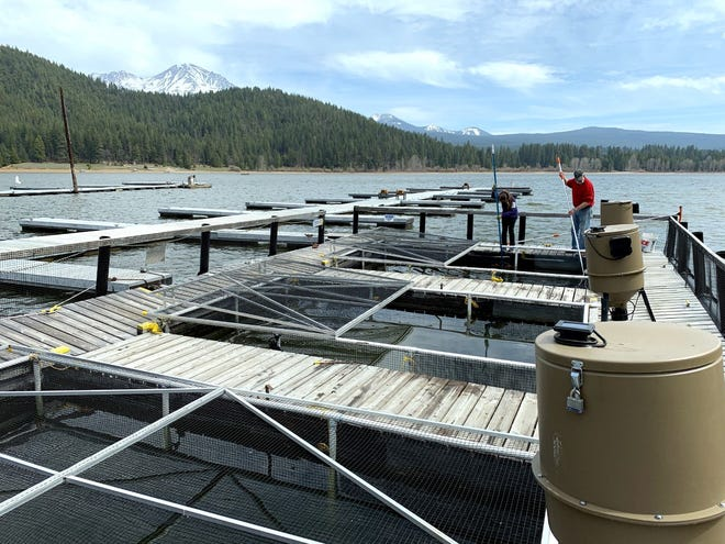 Mount Shasta Rotary members tend to trout they've raisedin pens at Lake Siskiyou. The fish will be released early, the last week of April, for the enjoyment of catch-and-release anglers.