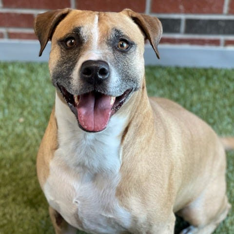 Max is about 6 years old and a cheerful happy guy. He showed up as a stray, already microchipped and neutered, but no one ever came for him. Never fear, we love him and make sure he gets lots of love and attention while he is waiting for the perfect family. To meet Max, call 405-216-7615 or visit the Edmond Animal Shelter, 2424 Old Timbers Drive.