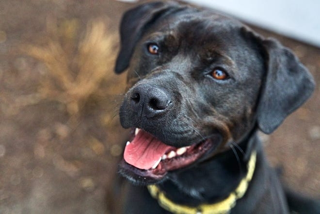 Sheena, a black Lab mix, is available through EGAPL The Heart of RI Animal Rescue League, in Cranston.