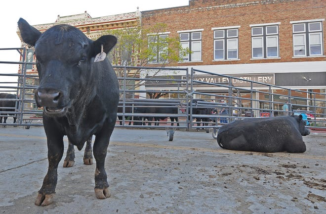 "An Angus bull moos while in a portable corral on Washington Street in downtown Marquette as the Barta Farms ""Angus Comes to Town"" bull auction was taking place inside of the Smoky Valley Distillery, 105 N. Washington, on Tuesday evening."