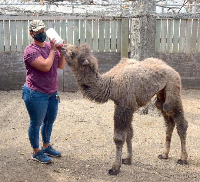 Zookeeper Olivia Wulff feeds Token five times a day. After suffering an infection in his knee, the month-old camel is doing well.