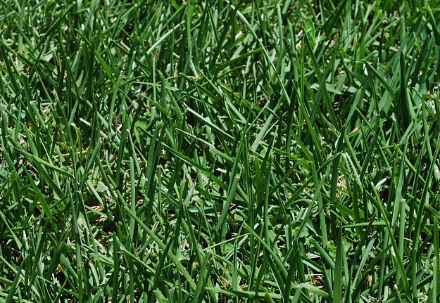 Lawns are the indicator of when the landscape needs irrigation. Turf can be acclimatized to be more drought tolerant with several simple adjustments. When the irrigation runs, soak the root zone and do not water again until the grass needs it. Mow high, taller grass promotes deep rooting and keep the mower blade sharp; sharp edges make cleaner cuts that cause less water loss.