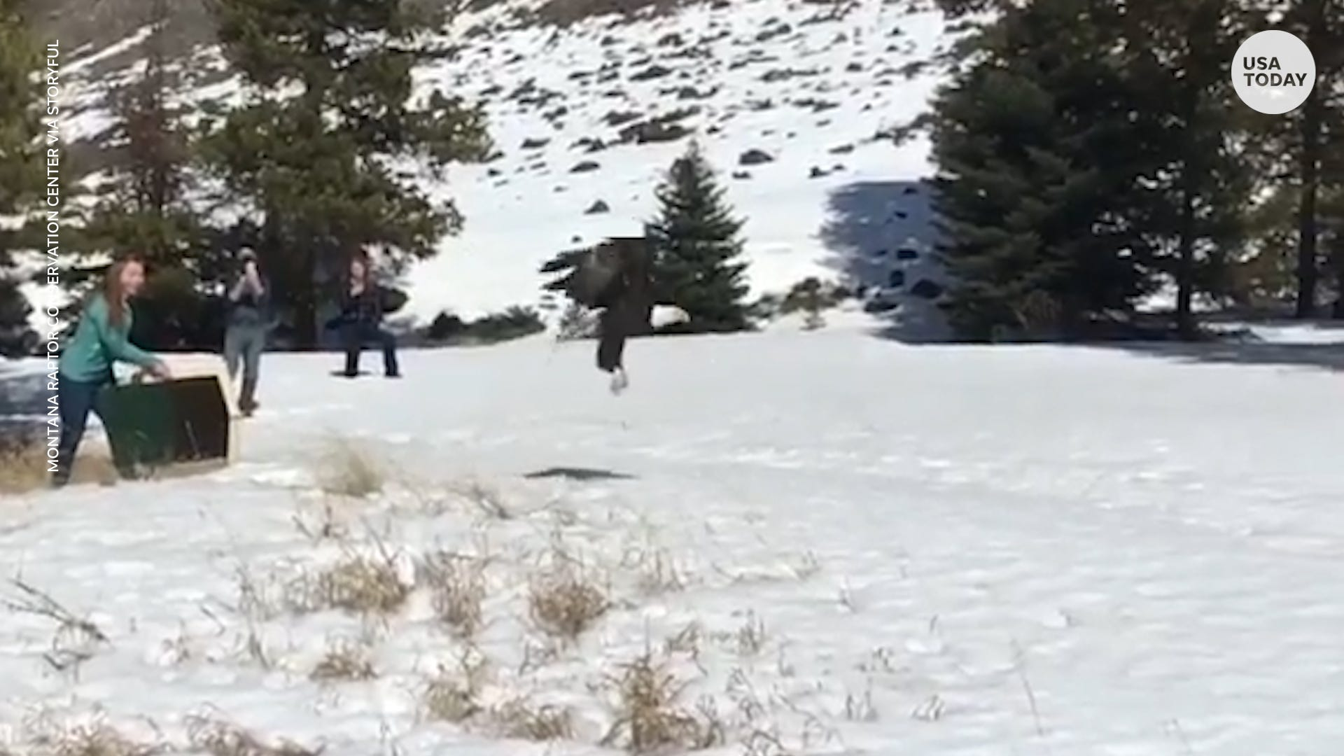 Watch the majestic moment a bald eagle is released back into the wild