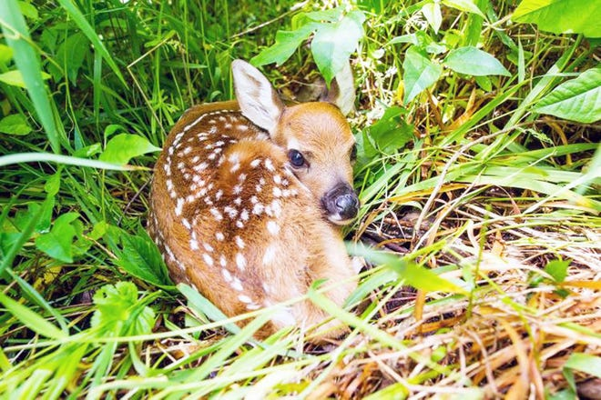 You may encounter a variety of newborn animals this spring, such as fawns (pictured). Leave wildlife wild as helping them could do more harm than good.