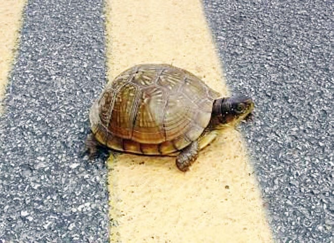 Give turtles a brake! These dawdling reptiles are emerging from their burrows this spring and crossing roadways in search of food and a mate.