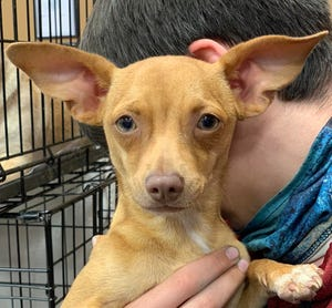 Teddy, 9 months, is a Chihuahua puppy. He is very sweet and playful. Currently weighs 7 lbs.   Meet him from 2-4 p.m. April 10 and 1-4 p.m. April 11 at PetSmart in Pooler.   GARD: GA Animal Rescue and Defence pets are vaccinated, microchipped, spayed/neutered with 30-days free pet insurance. Pets/applications/info at gardonline.org, Gardkm@gmail.com or stop by appointment only at 100 Dichroic Dragon Drive, Pembroke.
