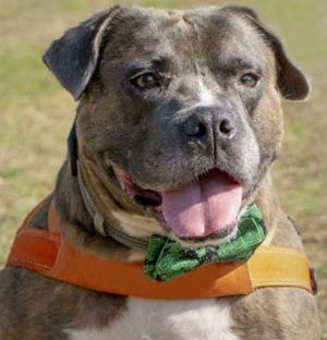 I'm Beefcake, and I could be your new best friend! I love to be around people and cuddle with them. I'm an older guy and I had a rough past, so I don't know basic commands, but I am very treat-motivated. I love to socialize and go for car rides. I love being around people and being in new environments. ONE LOVE ANIMAL RESCUE: Helps unwanted pets by partnering with shelters, rescue groups and the community. Pets/application/info at adoptme@oneloveanimalrescue.com or www.oneloveanimalrescue.com.