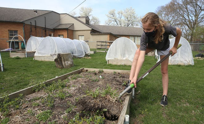 Edison Intermediate-Larson Middle School Garden Club member and sixth-grader Maggie Yates cleans out one of the vegetable beds in the garden April 6 at the school.