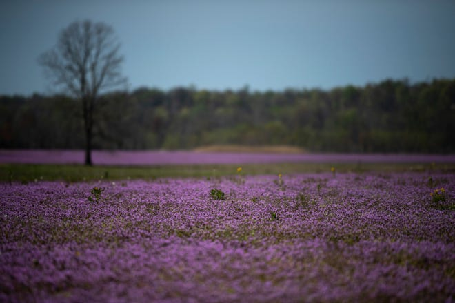 Purple henbit and purple deadnettle blanket a field in Henderson County, Ky., Wednesday morning, April 7, 2021. The colorful plants both belong to the mint family and can be seen in many farm fields that haven't yet been prepared for planting this early in the year.