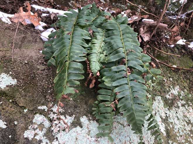 A Christmas fern photographed in January demonstrating its seasonal green color and uniquely stocking-shaped pinnae.