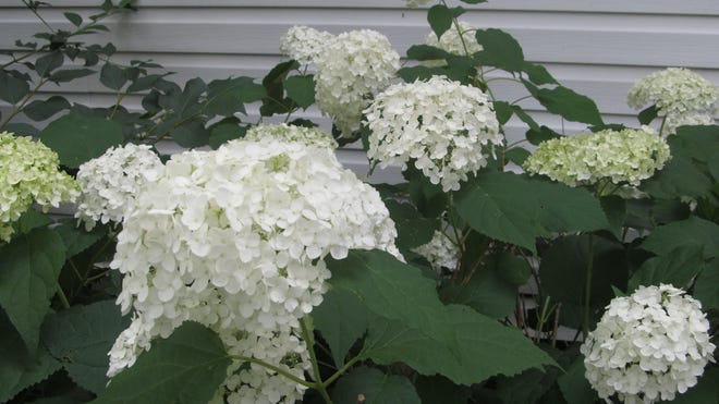 Knowing what type of hydrangea you have will determine when it should be pruned to promote growth.