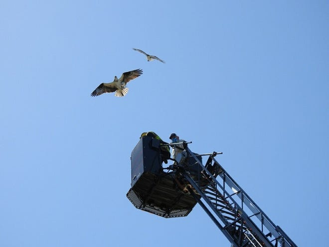 A male and female osprey fly overhead as Marco Island Fire-Rescue and the Conservancy approach their nest to return one of the ospreys' chicks that had fallen to the ground. (Jessica Patel/Special to the Daily News)