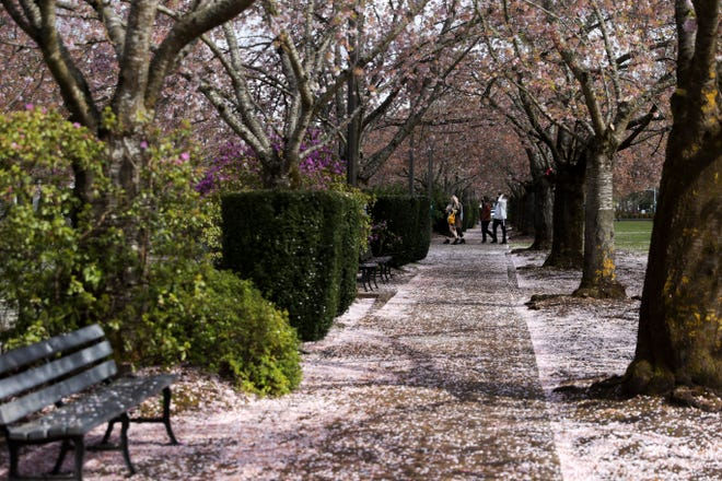 People walk on paths at the Capitol Mall as the cherry blossoms fall on Thursday. More sunshine and warmer temperatures are ahead for the Willamette Valley.