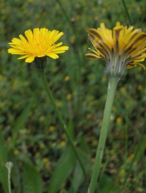 False dandelion, like the real thing, is a member of the sunflower family, and their close relatives include lettuce, chicory, and a bunch of other weedy things.