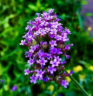 Tall verbena will be among plants at the Goodwood Garden's plant sale on Saturday, April 10.
