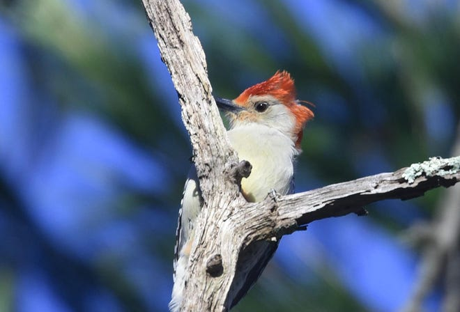 A stiff north wind makes for a bad hair day for this red-bellied woodpecker nestled in a section of oak trees in West Barnstable. [STEVE HEASLIP/CAPE COD TIMES]