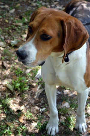 Reba is a 6-year-old female Tricolor Hound.