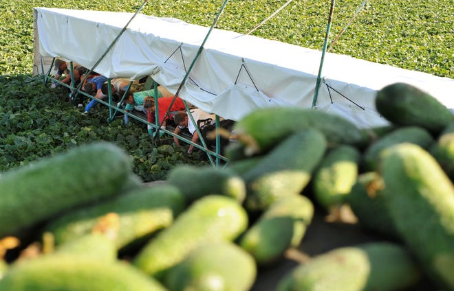 Lying on a so called cucumber flyer, Polish seasonal helpers harvest cucumbers on a field near the eastern German village of Kasel-Golzig in the Spreewald region south of Berlin Wednesday, July 2, 2008.  (AP Photo/Sven Kaestner)