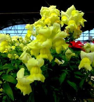 Snapdragons as bedding plants bring soft pastels or vibrant spring color to the garden. The long-lasting profusion of blossoms brighten borders, mass plantings and containers with showy, two-lipped flowers borne on spiked, upright flower stalks reaching 12 inches in height.