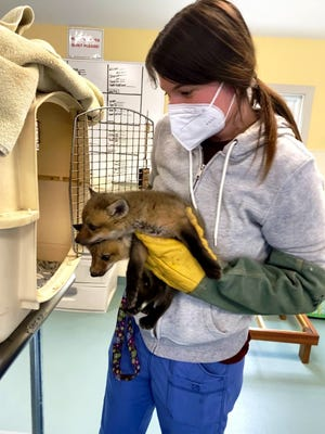 Veterinary technician Robyn Rohm caring for two fix kits that came into the New England Wildlife Center for Care.