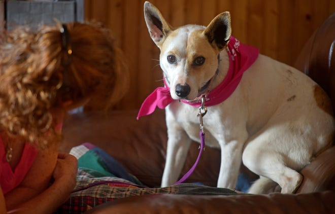 MILLBURY - Five years ago, Bay, a rescue Basenji, escaped from a Framingham home. She was found and trapped in Needham this week she was reunited with her owner, Renee Perry of Millbury.