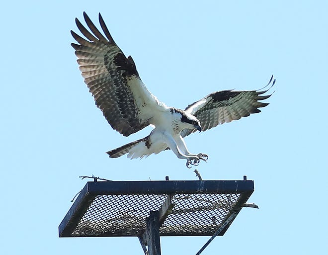 An osprey flies in for a landing on a platform at Sweetwater Wetlands Park in Gainesville in late March.