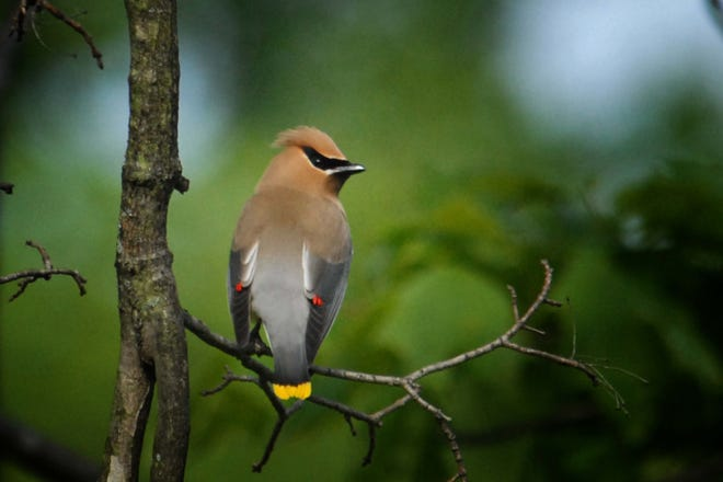 Eating nandina berries causes birds like this lovely Cedar Waxwing to hemorrhage to death from cyanide poisoning.