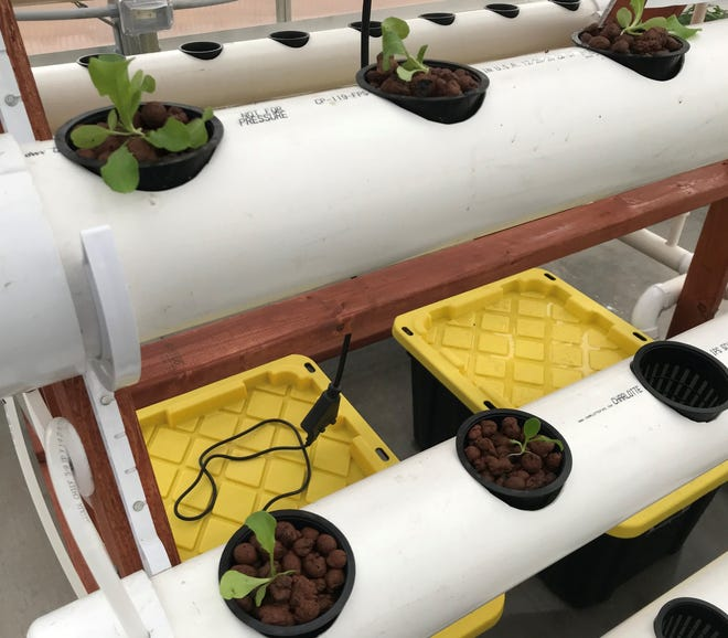 Tomato plants grow in hydroponic pots in the greenhouse at the new Agriscience Center at Luxemburg-Casco High School.