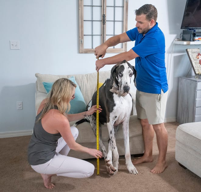Spencer Seay, left, and her husband Jordan take a quick measurement of Atlas, a purebred German Harlequin Great Dane who may be the tallest dog in the world, at their home in Navarre on Friday, April 9, 2021.  The Seay family is in the process of certifying that Atlas is the tallest living dog in the world at 104 centimeters with Guinness World Records.