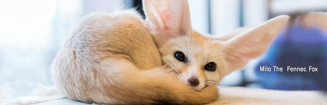 "Milo, the Fennec Fox, will be part of the reduced-capacity ""Amazing Animal Ambassadors"" shows for school vacation at the Cape Cod Museum of Natural History in Brewster."