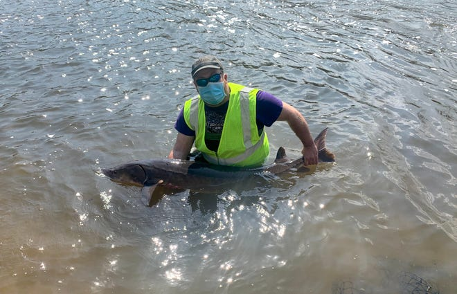 Brandon Wambach, a Department of Natural Resources fisheries technician, holds a lake sturgeon netted April 7 in the Milwaukee River. The fish was measured, checked for fin clips and tags and released.