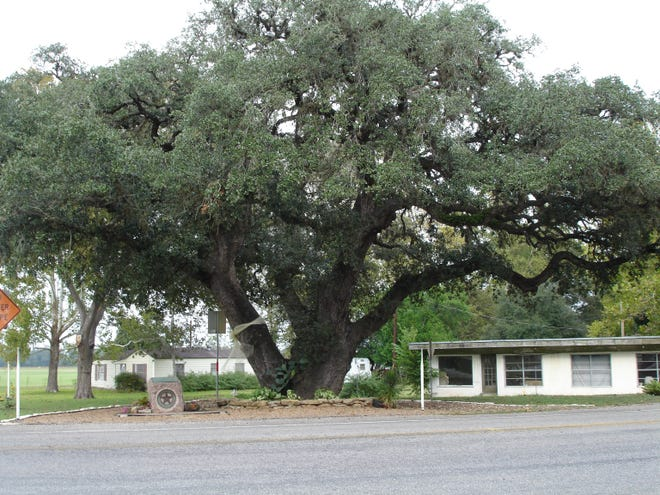 The Columbus, Texas 'Hanging Tree' today.