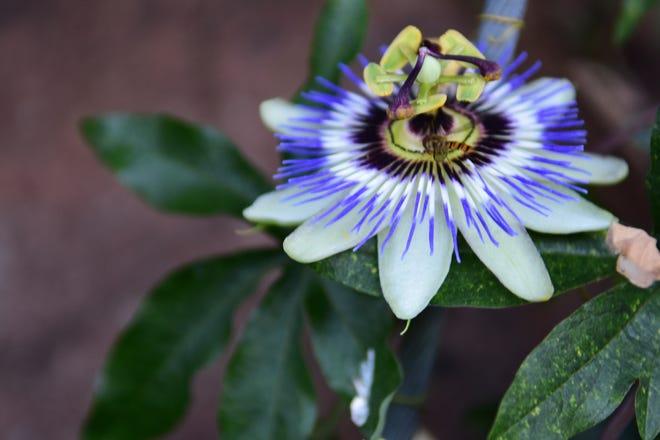 Passion Flower. (Betty Montgomery Photo)