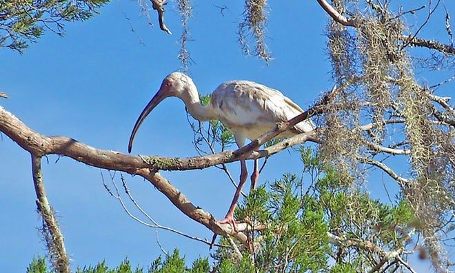 A large white ibis rests on a cedar limb at Stoney Creek.