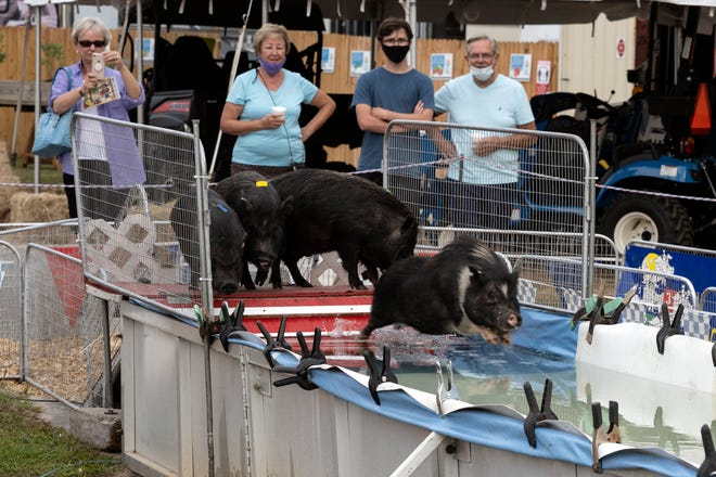 A crowd watches as the Robinson's Racing Pigs leap into the 24-foot pool during a show at the Lake County Fair on Friday. [Cindy Peterson/Correspondent]