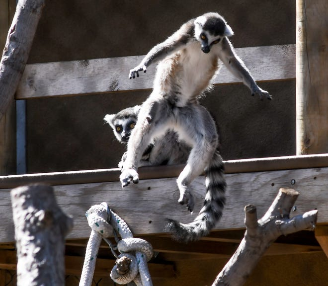 A ring tailed lemur leaps from a balcony area to a tree limb in its enclosure in the Primate Forest - Lemurs! exhibit Sunday at Lee Richardson Zoo.
