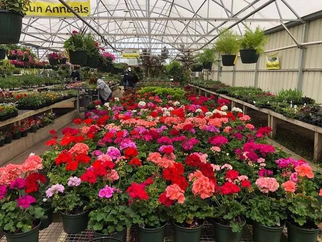 Geraniums and sun annuals ready for gardeners to purchase at Precure Nursery & Garden Center,  8125 W Reno Ave.
