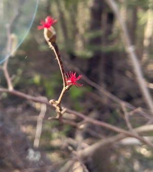 The sun illuminates the delicate red female flowers of the beaked hazelnut female plant.