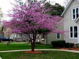 """Redbud trees adorned many areas in the city in the 1940s. The state legislature designated Shawnee as the """"Redbud City of Oklahoma"""" in 1941."""