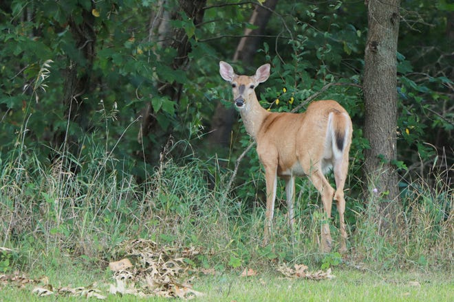 Glen Oaks Community College plans to develop a nature trail available for use by students, staff and the community. The trail will help to provide education about wildlife management. This deer was photographed in August, wandering the natural areas of the campus.